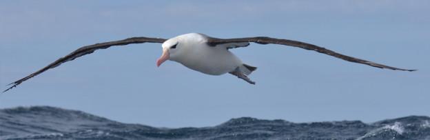 albatros_ceja_negra-01