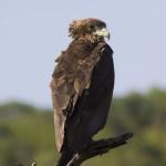 Águila volatinera juvenil
