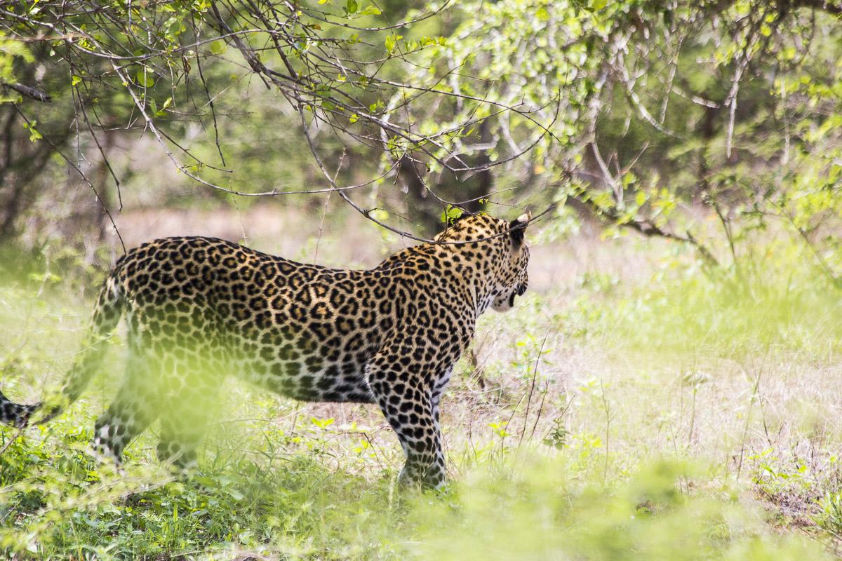 Leopardo (2)