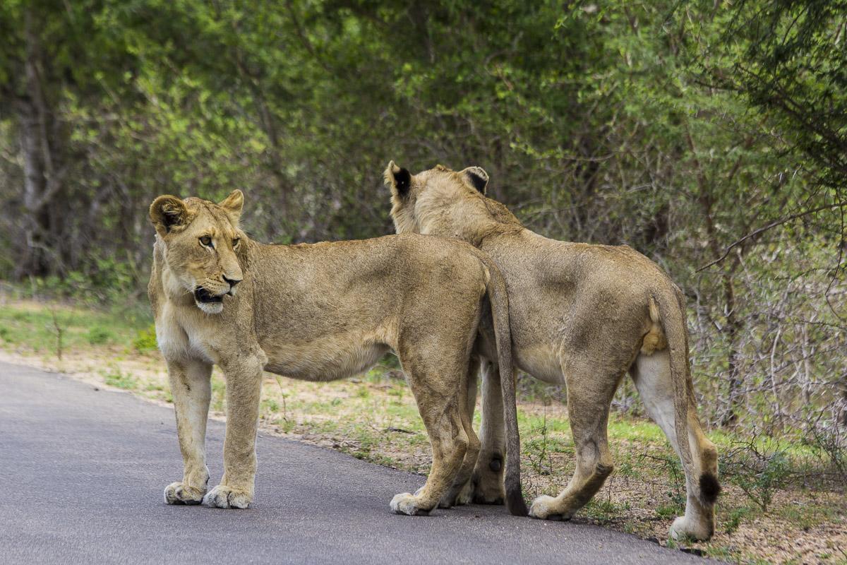 Pareja de leones jóvenes