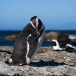 Pingüino sudafricono-Ciudad del Cabo
