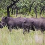 Rinoceronte blanco (2)