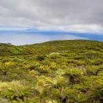 Tristan da Cunha.Bosque de helechos