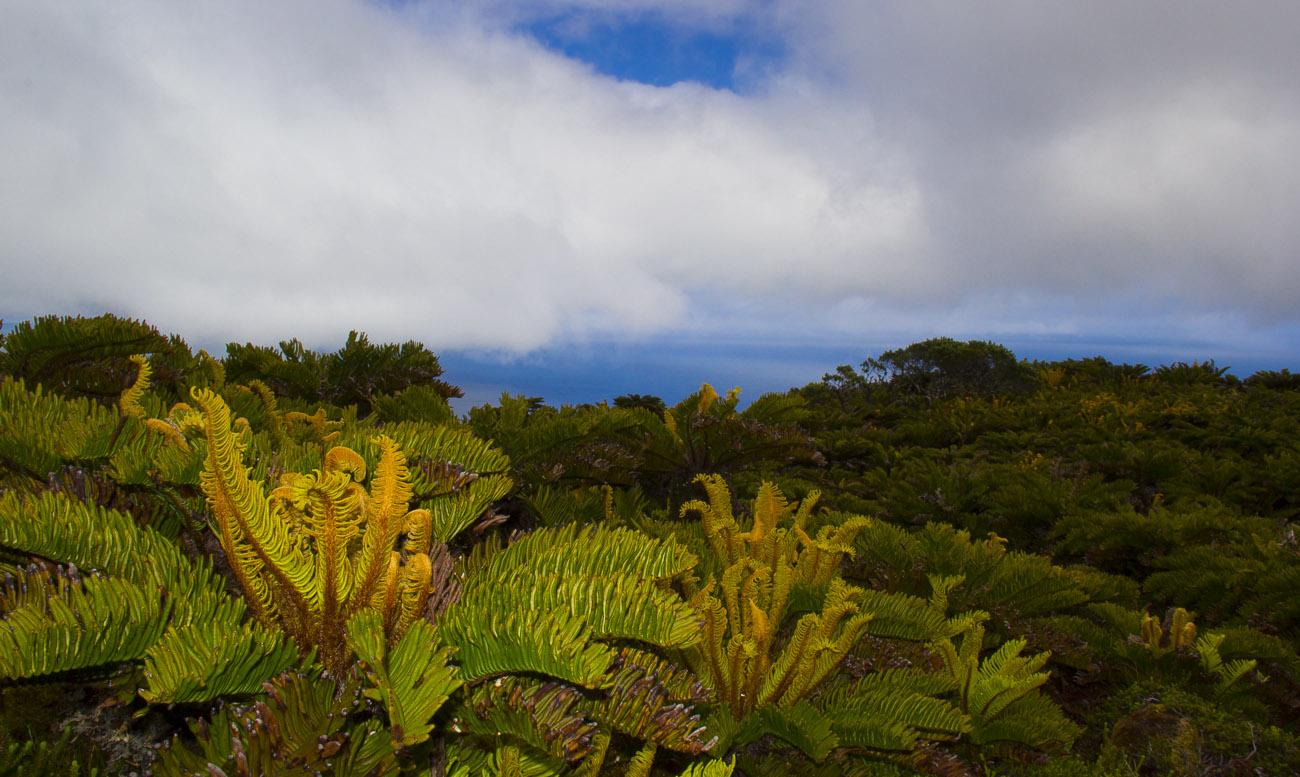 Tristan da Cunha.Bosque de helechos (2)