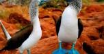 Piqueros-de-pas-azules-podrian-extinguirse