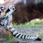 Lemur de cola anillada en Anja Madagascar