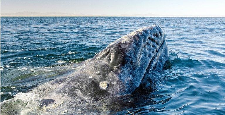 Ante el colapso de las pesquerías, la gente de Guerrero Negro y San Ignacio, en Baja California, México, ha mejorado su calidad de vida gracias al negocio del avistamiento de ballenas grises hecho de manera reglamentada y responsable.
