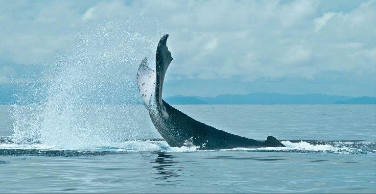 El cumplimiento de las reglas de avistamiento es la clave para la industria sostenible. De lo contrario, las ballenas buscarán aguas más seguras perdiéndose la oportunidad de un desarrollo amigable con los océanos.