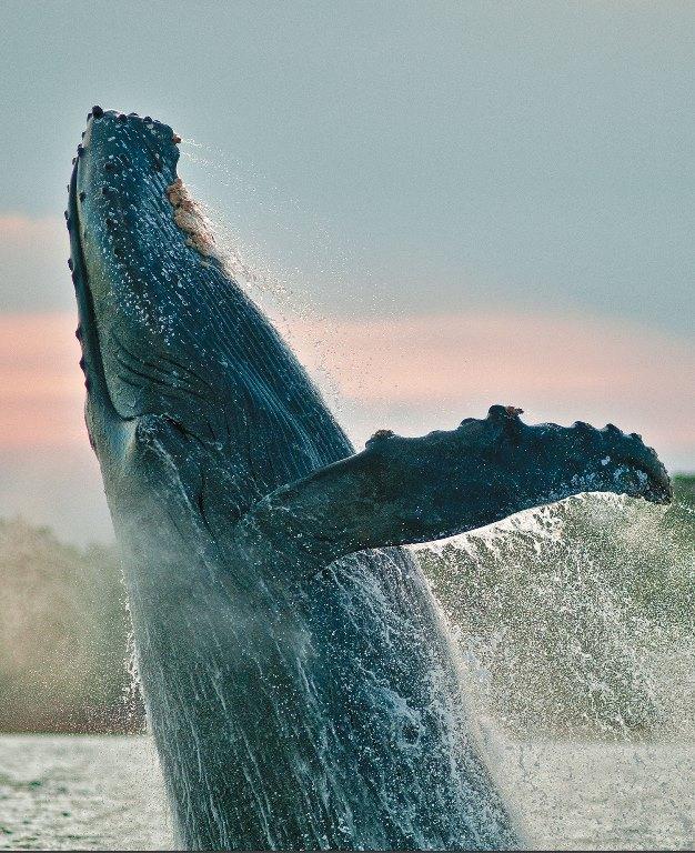 En Las Perlas una ballena jorobada, pesada tanto como 500 hombres, salta demostrando su poder en época de apareamiento.