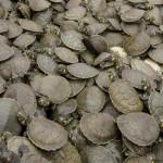 Quinientas mil tortugas, esperanza para las poblaciones locales.