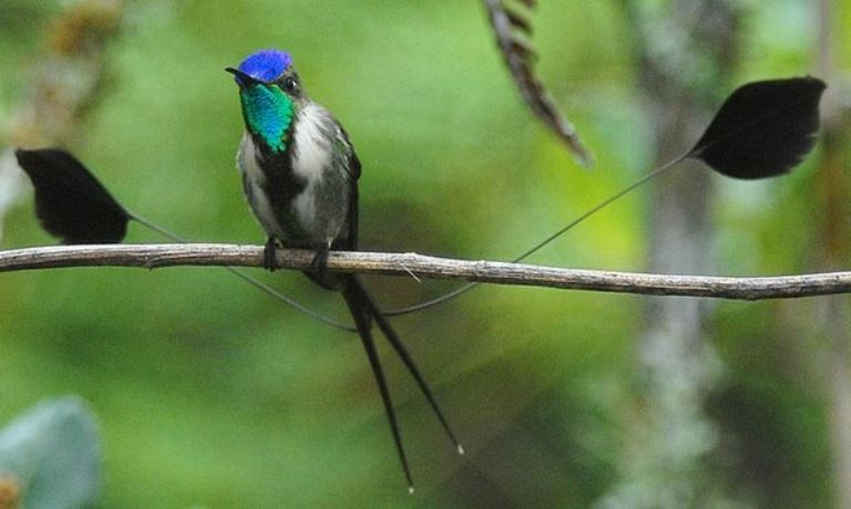 Colibrí maravilloso, una especie icónica de la ruta norte. Foto: Andina.