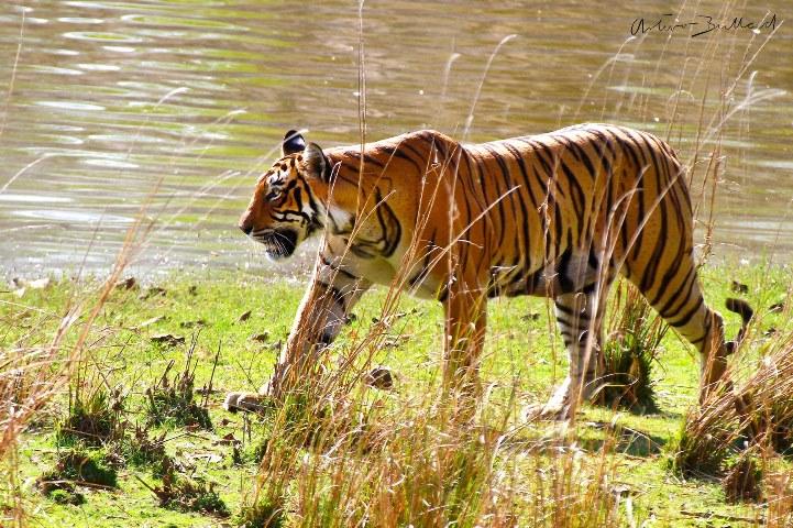 tigre-de-bengala-ranthambhore-india