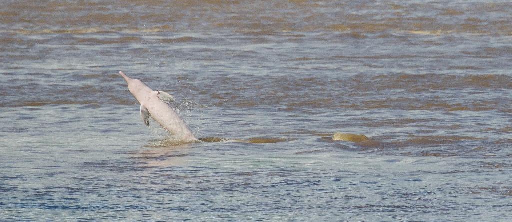Un bufeo gris salta fuera del agua, la emoción es desbordante. Sebastián Castañeda / WWF Perú