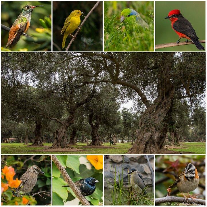 El Olivar, San Isidro, y parte de la avifauna que habita los parques. Foto: Mercedes Benavides