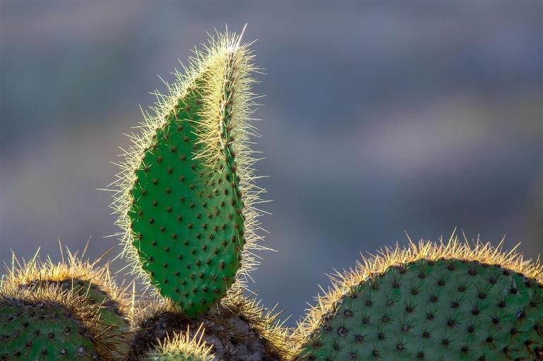 prickly-pear-cactus_0936de32_1200x799