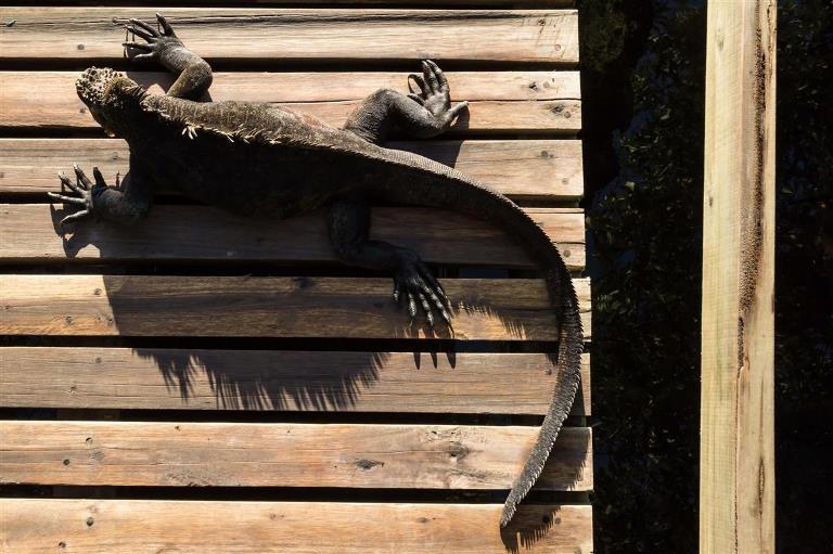 sunbathing-iguana_c69a33d1_1200x799