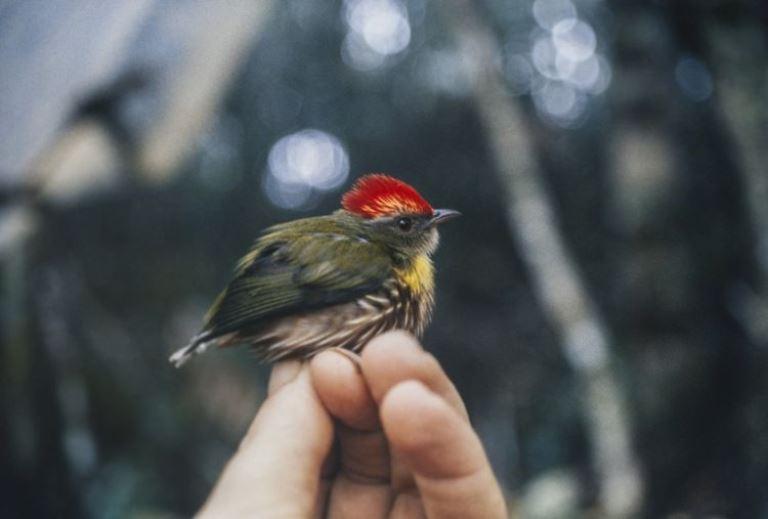 La nueva especie fue descubierta gracias a su canto particular. Foto de Andrew Kratter / Museo de Florida.