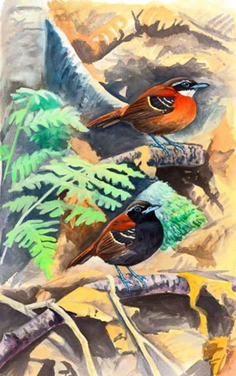 Pájaro Hormiguero de Cordillera Azul (Myrmoderus eowilsoni). Daniel Lane.