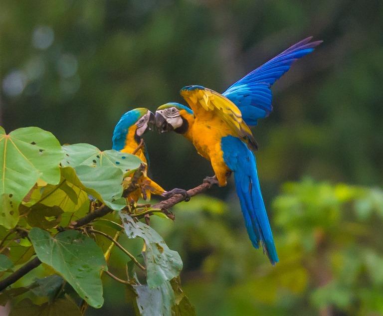 Entre julio y setiembre las parejas empiezan a defender los huecos naturales en los árboles y palmeras que utilizarán para sus nidos. Foto Zoltan / Green House Tambopata