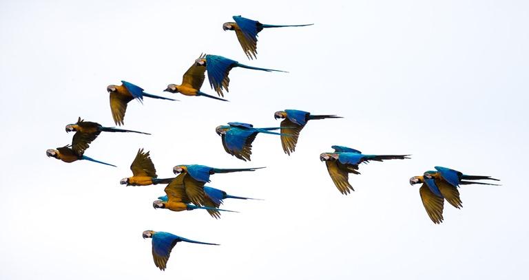 Ara ararauna, guacamayo azul y amarillo, habita bosques inundados, pantanos y aguajales. Foto Charlie Peña / Green House Tambopata