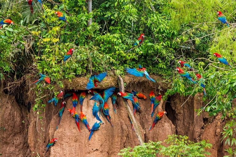 Según investigaciones del Proyecto Guacamayo las colpas son una fuente de sodio muy importante tanto para guacamayos adultos como sus crías. Foto Charlie Peña / Green House Tambopata