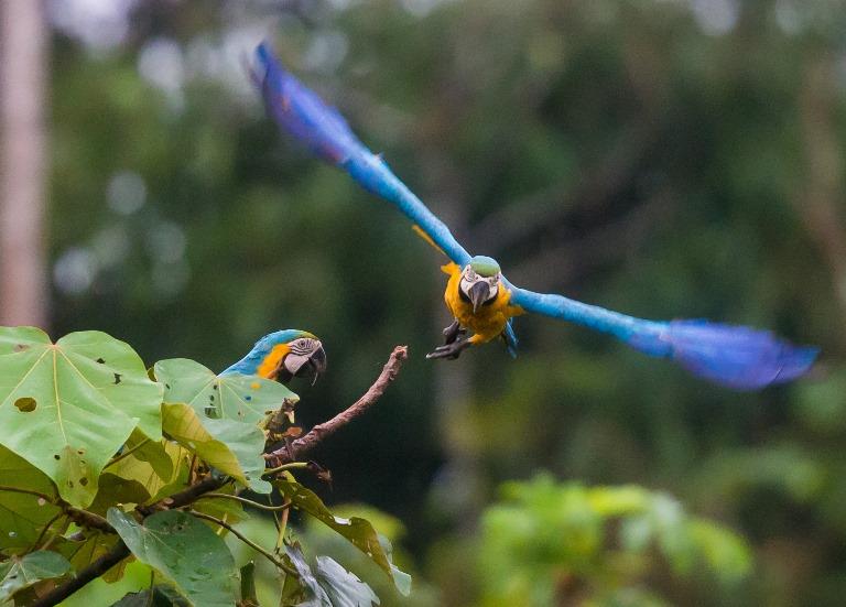 Los guacamayos suelen desplazarse en parejas. A veces el duo familiar incluye a una o dos crías.Foto Zoltan / Green House Tambopata