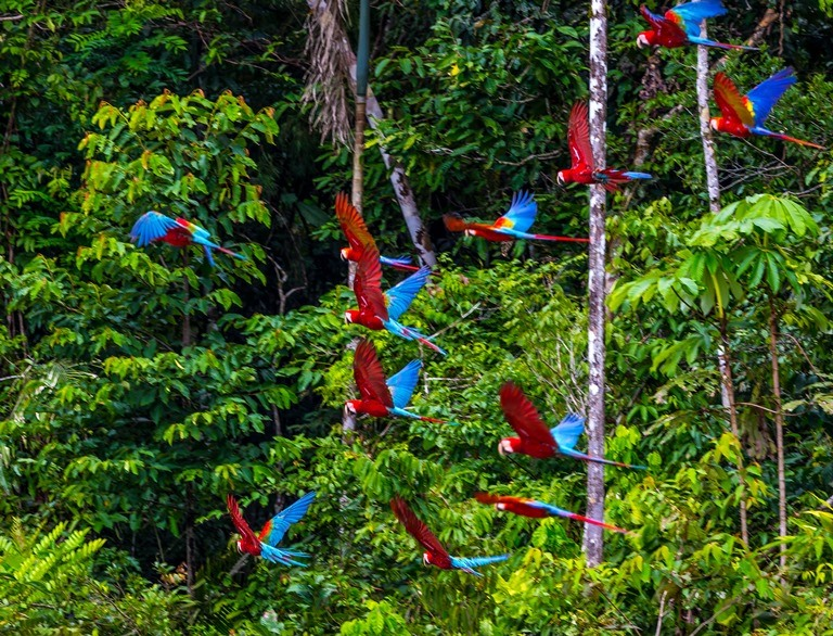"""""""Donde sea que estas aves se reúnan para comer, su presencia forma un espectáculo hermoso y memorable que atrae visitantes de todo el,mundo"""" (Donald Brightsmit). Foto Charlie Peña / Green House Tambopata"""