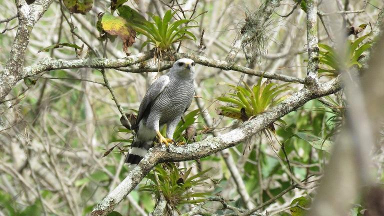 Gray-lined Hawk Buteo nitidus. Foto Elio Núnez