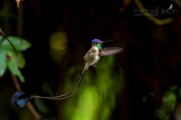 Colibrí cola de espátula (Loddigesia mirabilis)