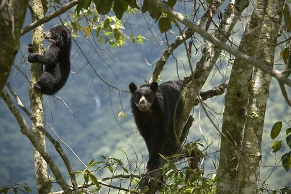 Alrededores del ACR Choquequirao, refugio de vida silvestre, refugio de osos de anteojos. Foto ANDINA
