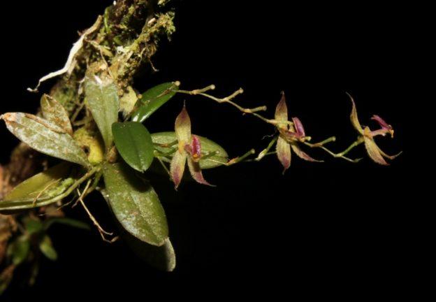 andinia-tingomariana_planta-completa_luis-ocupa-horna