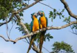 copia-de-blue-throated-macaw-pair-ready-for-breeding-daniel-alarcon-768x512